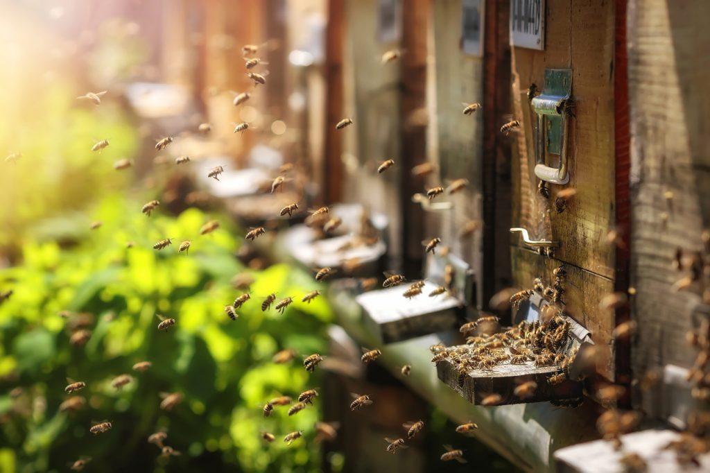 Honig-Produktion: Bienen fliegen einen Bienenstock an und landen
