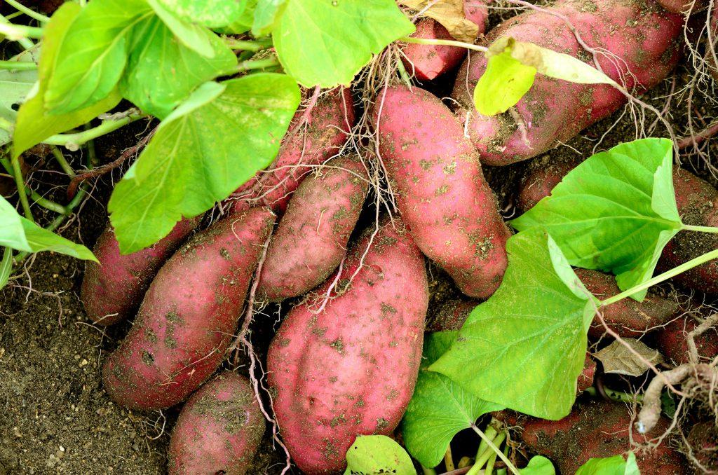Frische Süßkartoffel